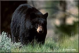 Black Bear getty