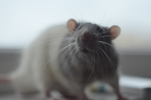 Close-Up Of Rat
